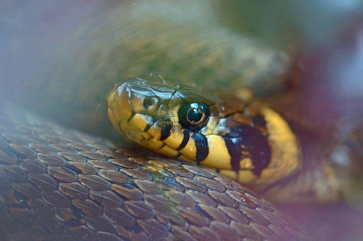 Quel est le régime alimentaire d'un serpent ?