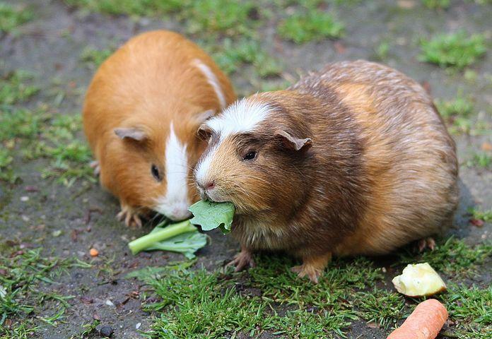 Quels aliments donner à son cochon d'inde ?